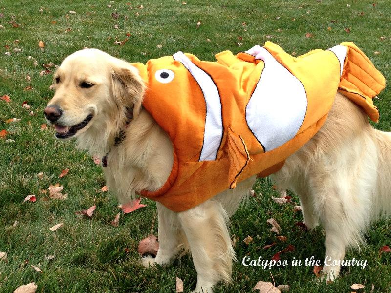 Nemo Dog Costume on a Golden Retriever