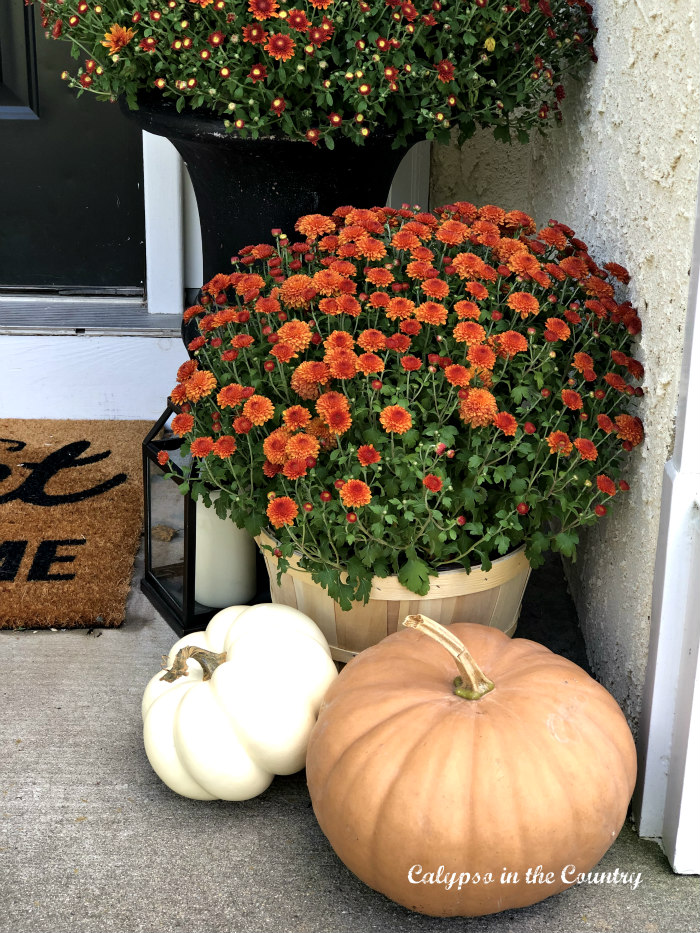Orange mums and pumpkins for fall