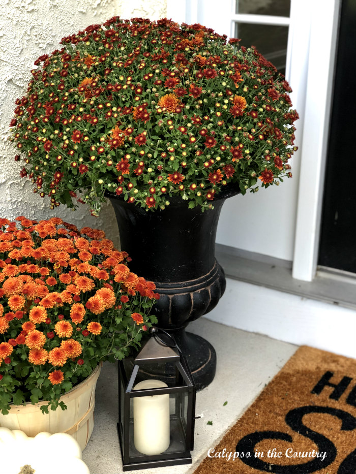 Orange mums in black urn on fall porch