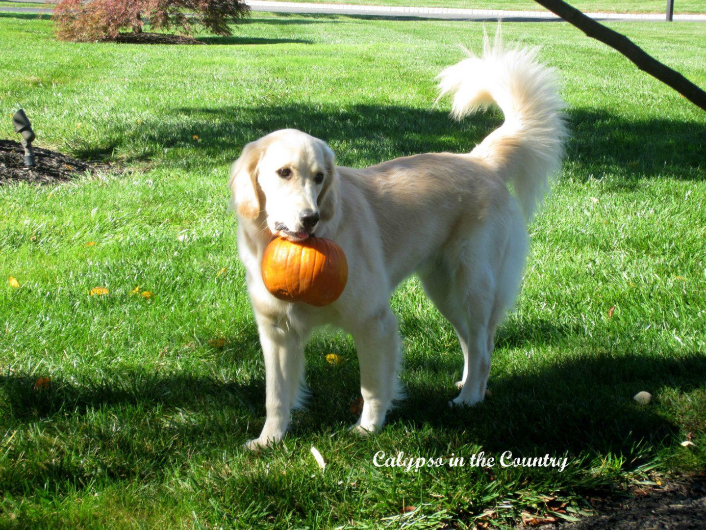 Golden retriever and pumpkin