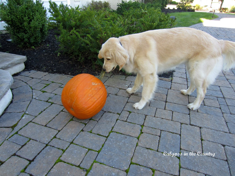 Golden retriever and orange pumpkin