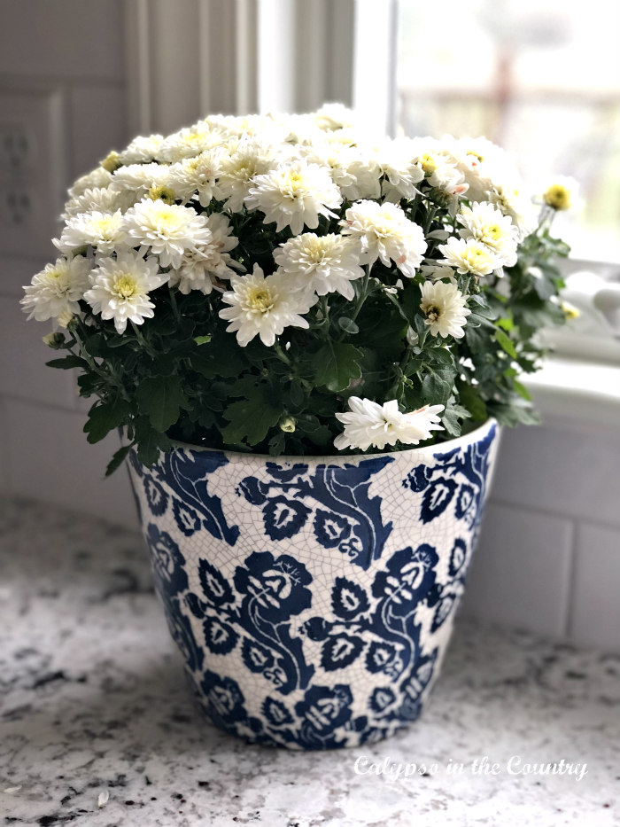 White mums in blue and white pot for fall