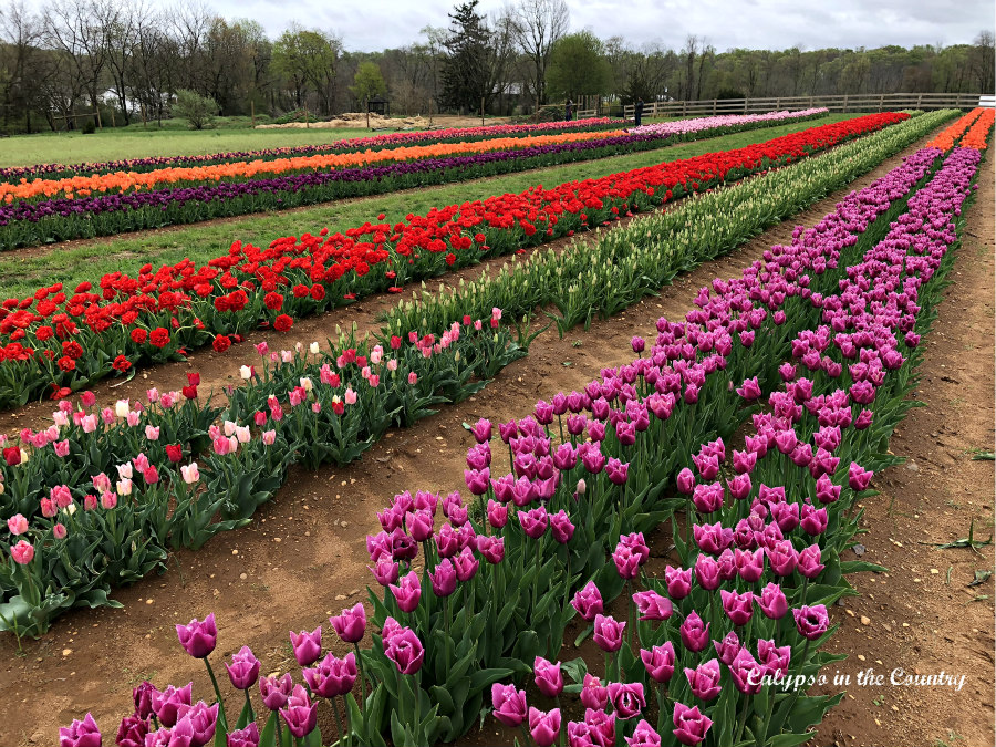Rows of Colorful Tulips