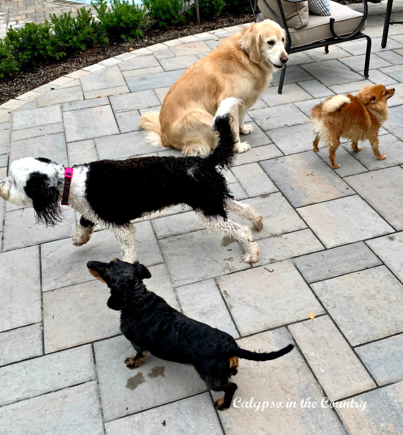Dog party on the patio