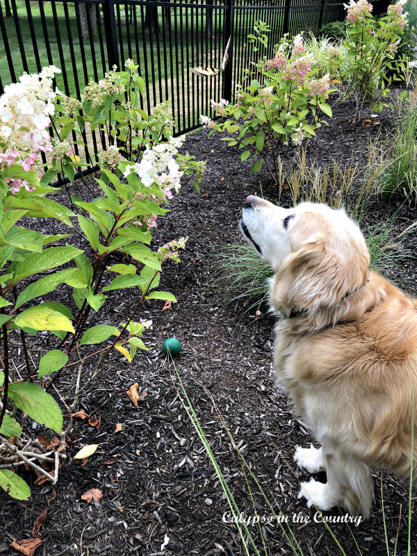 Golden Retriever watching butterfly