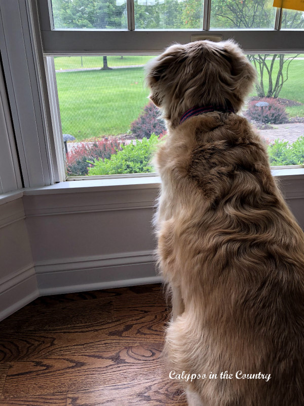 back of golden retriever watching out window