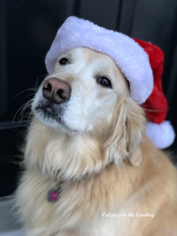 Golden Retriever in santa hat