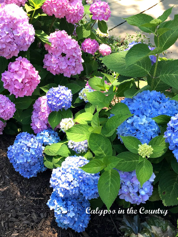 Pink and Blue Hydrangeas and ways to decorate with them