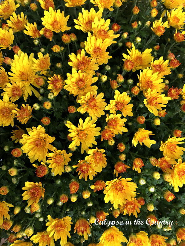 Yellow Mums on Autumn Front Porch