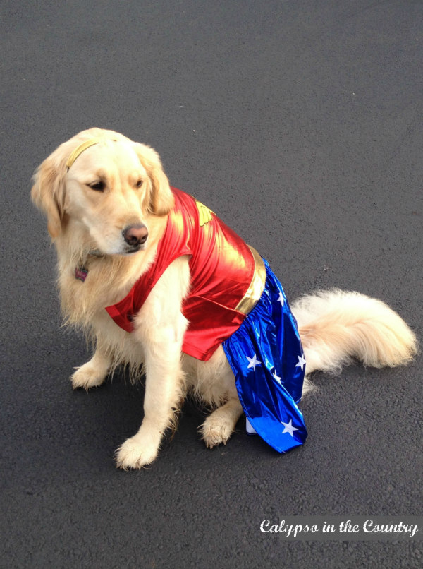 Golden Retriever in Wonder Woman Costume - Halloween Ideas for Costume