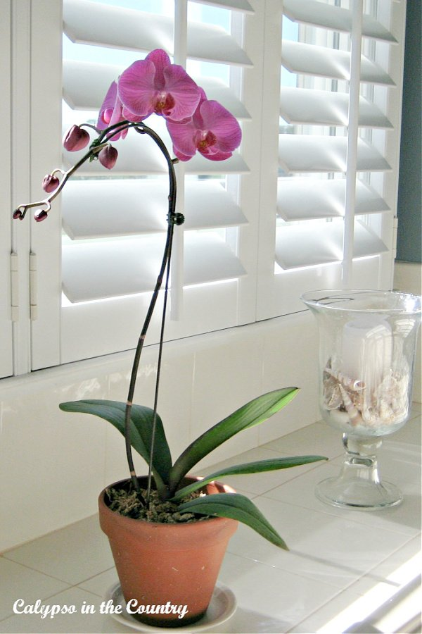 Pink orchid in front of white plantation shutters