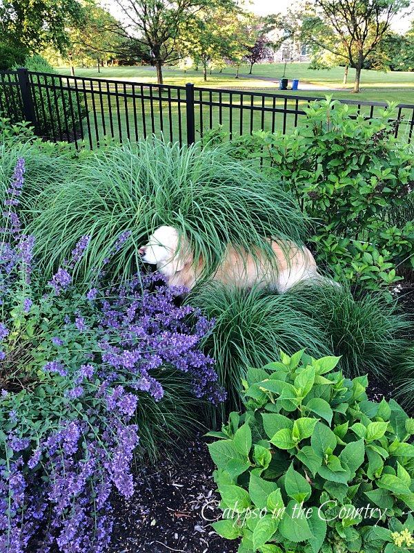 golden retriever in flower garden