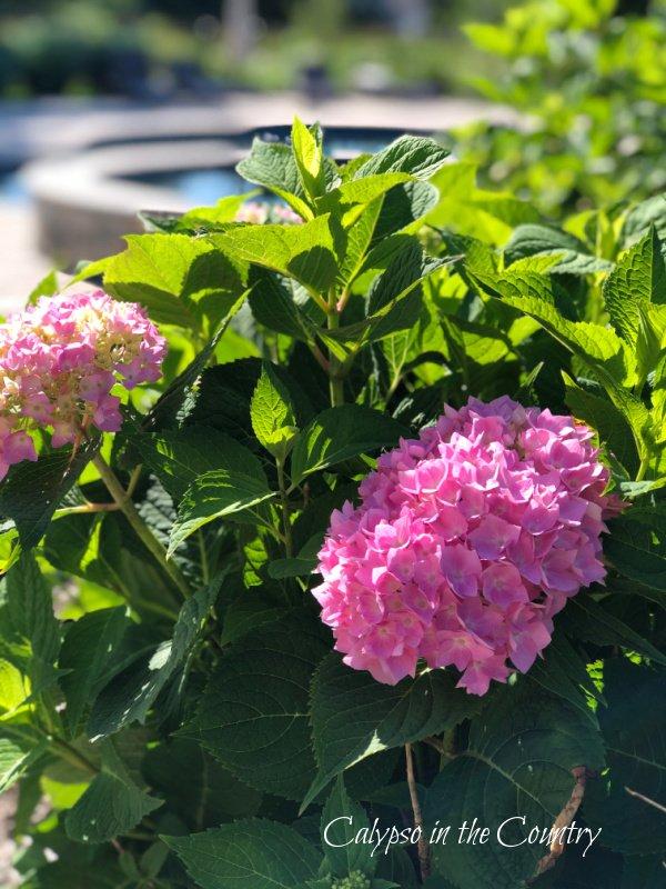 pink hydrangea bush by the pool - summer flowers