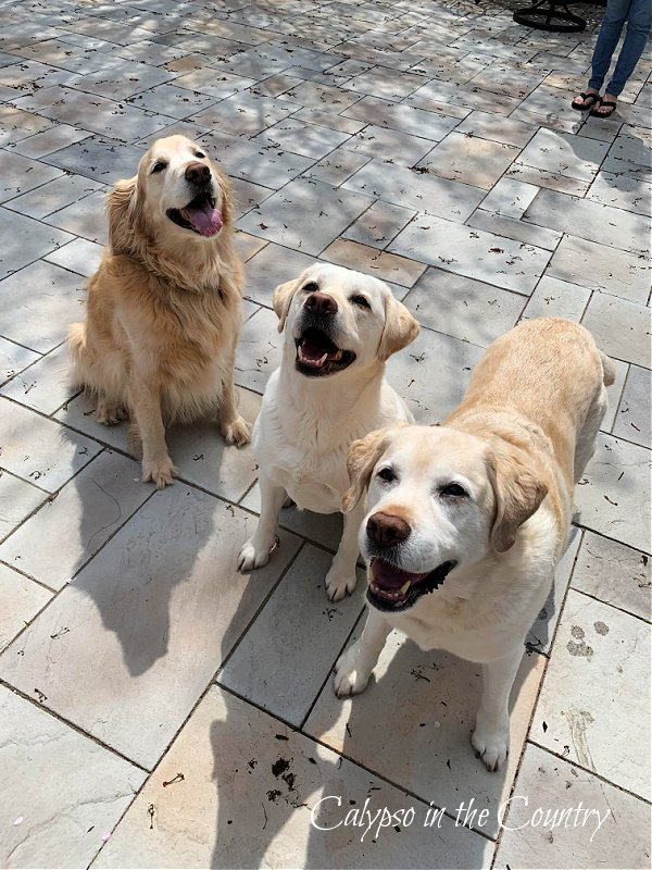 Golden Retriever and two yellow labs - celebrate national dog month