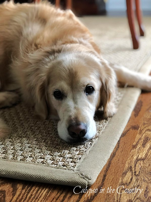 Golden Retriever on Rug - Celebrate National Dog Month