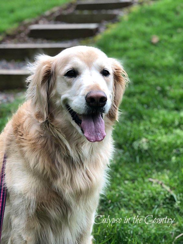 Golden Retriever - dog days of summer