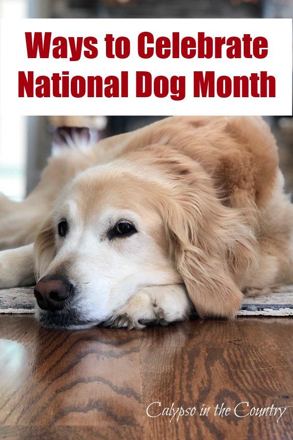Golden Retriever - Ways to Celebrate National Dog Month