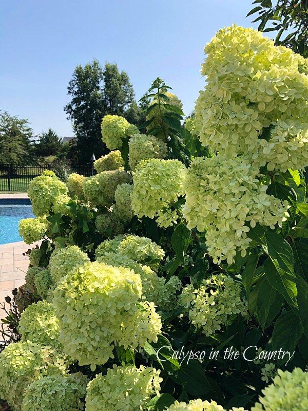 hydrangea bushes - early fall